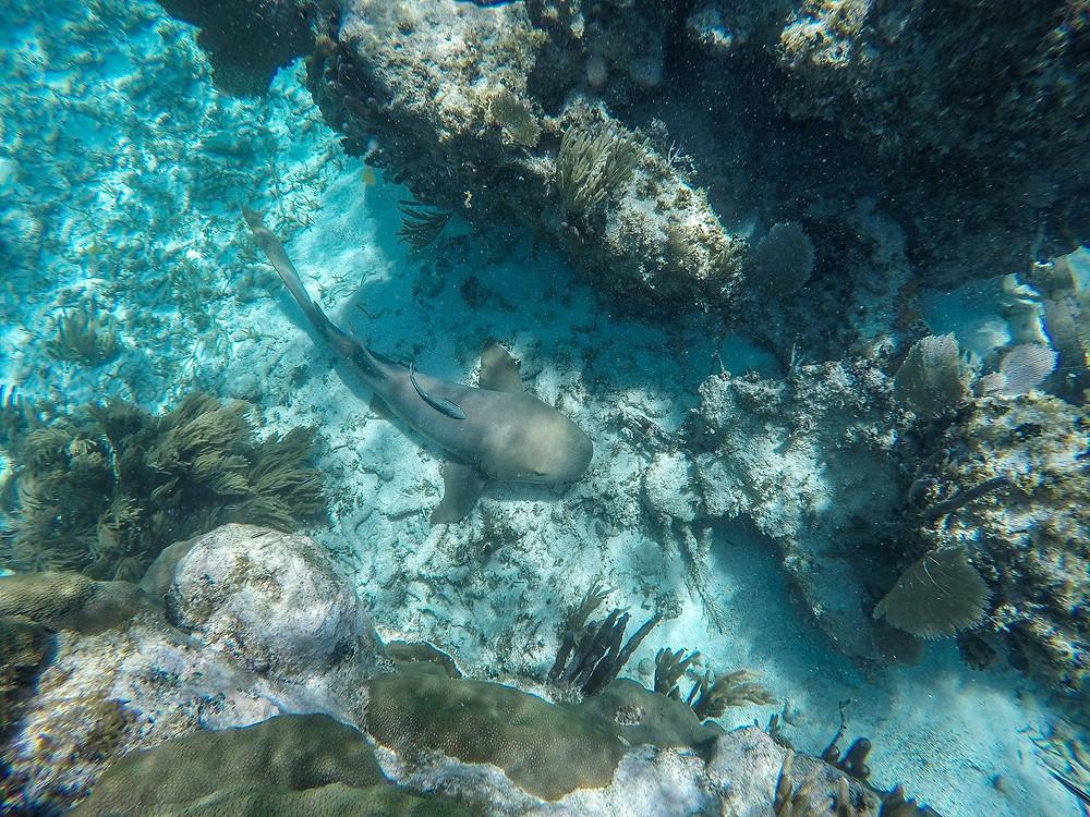 Ammenhai am Meeresboden in der mexikanischen Karibik