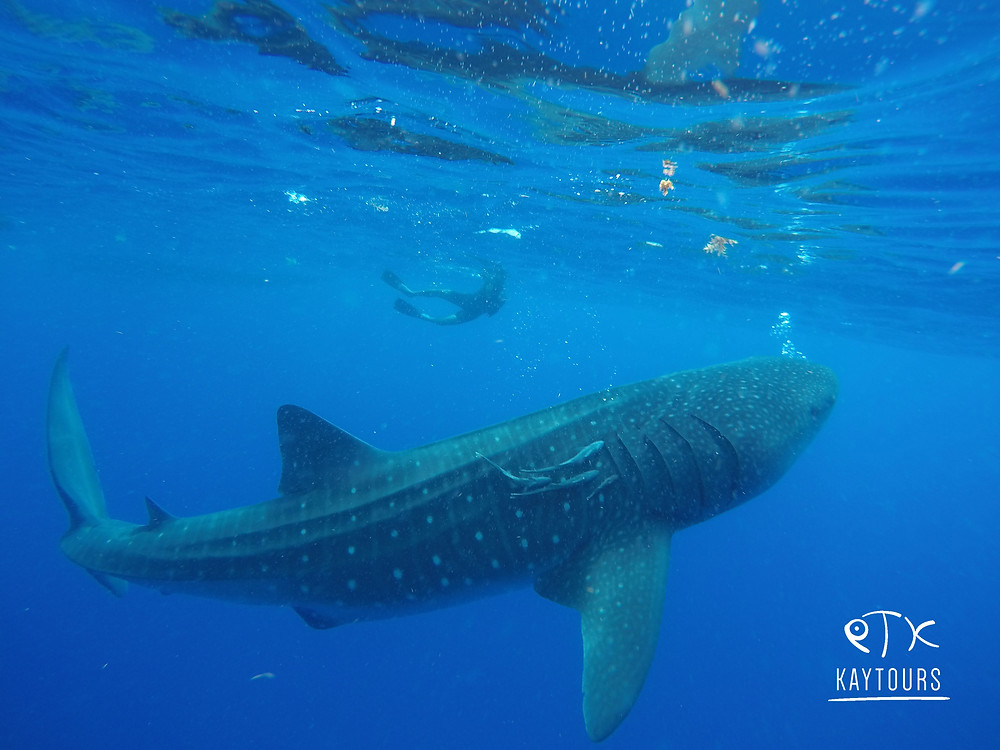 Whale shark day tour from Playa del Carmen