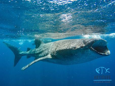 Zwemmen met walvishaaien 2019 [updated]