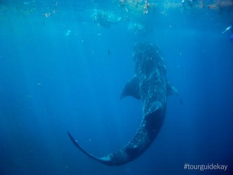 Schwimmen mit Walhaien in Mexiko 2019 [aktualisiert]