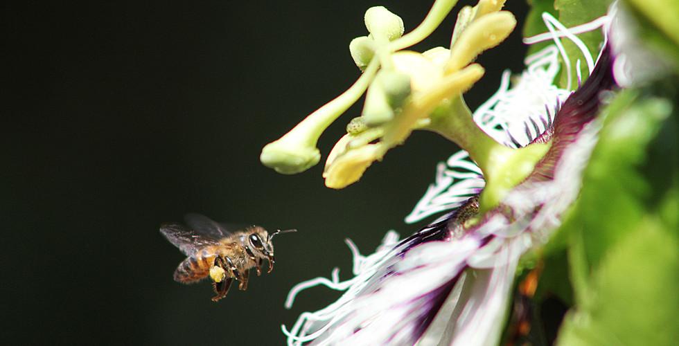 Abelha poliniza a flor do maracujá...