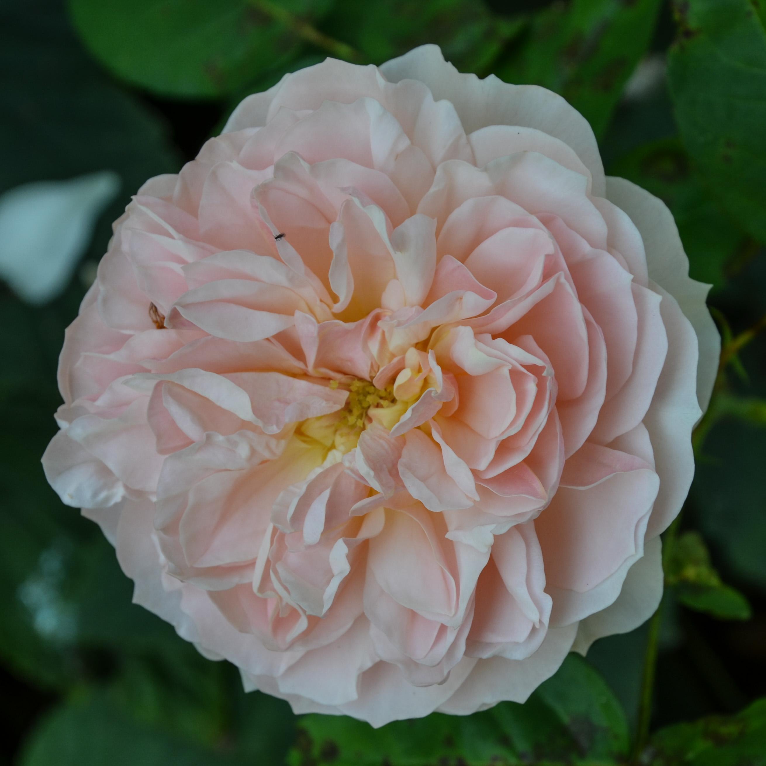 La rosa Evelyn