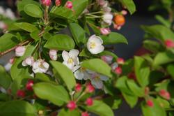 I meli da fiore
