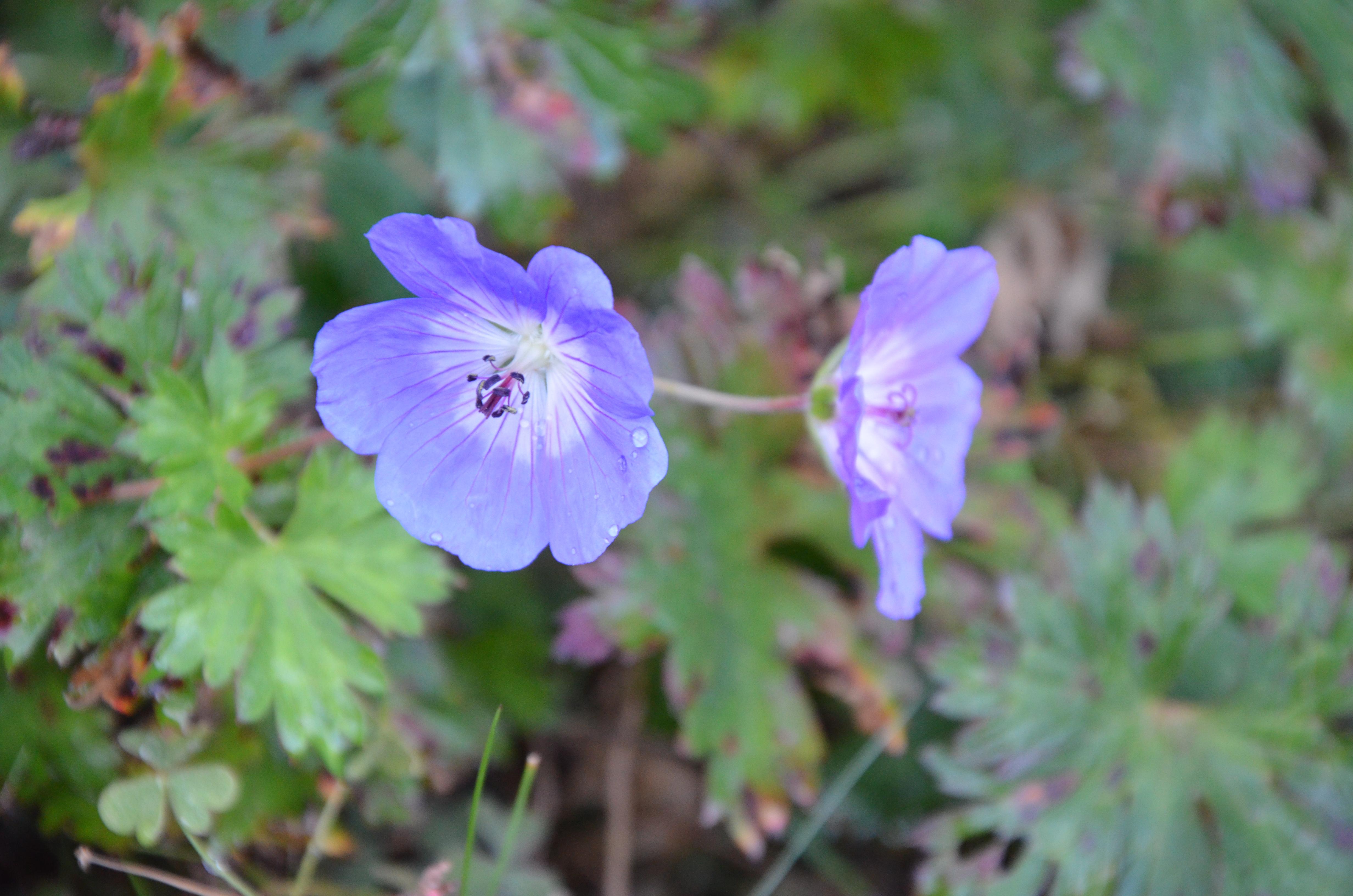 Il geranium Rozanne