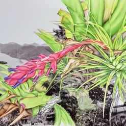 Bromeliaceae - Saco do Mamangua