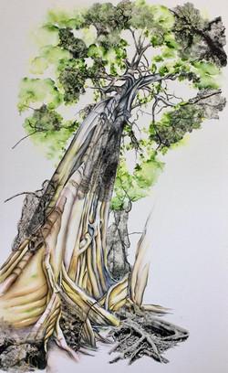 Kapok tree Costa Rica