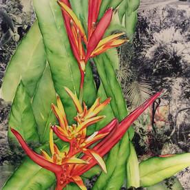 Heliconia - Saco do Mamangua