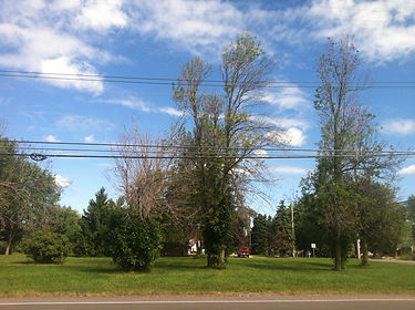Buffalo Ash Tree Treatment