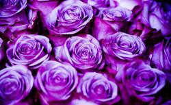 Purple-flower-Purple-Roses (2).jpg