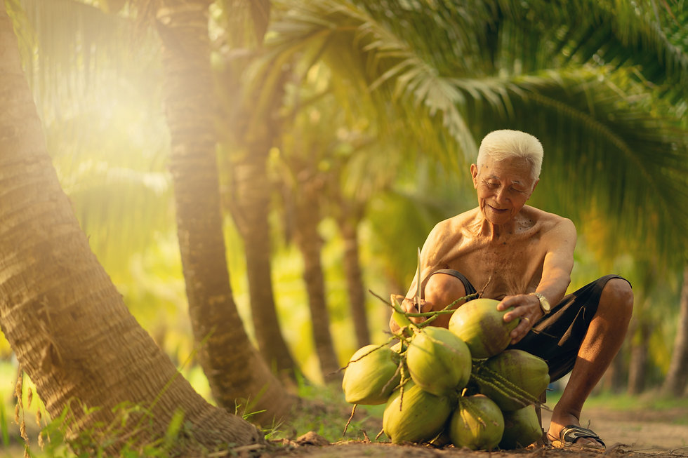 Old man collecting coconut in coconut fa