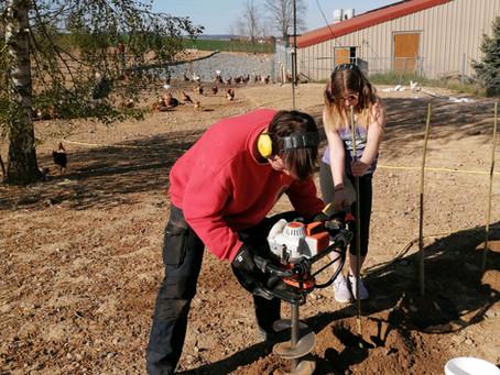 Der neue Pappel-Hühnerwald unserer Freilandhühner.