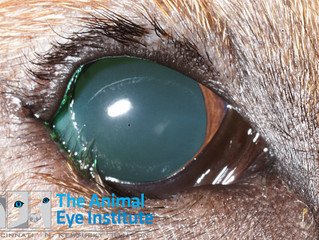 What is Entropion in Dogs and Cats?