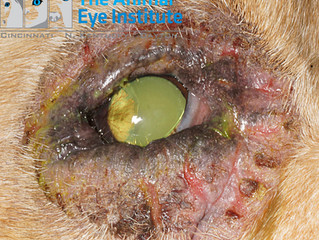 What Is Canine Blepharitis?