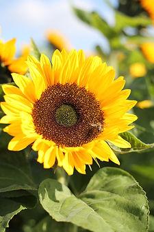 CC Sunflower