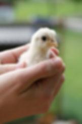 Ung kyckling hålls i händer