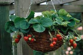 Strawberries in baskets.jpg