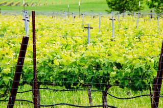 happy vines mean happy wine