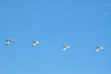 White ibis, Costa Rica