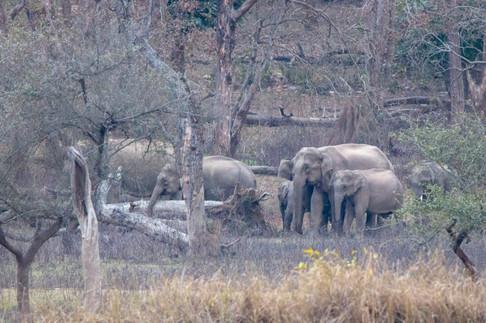 Indian elephant family 2