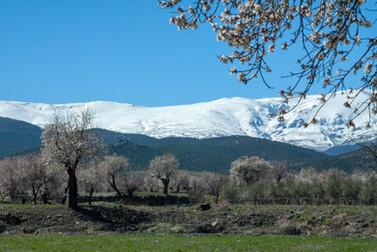 Andalucia, Sierra Nevada, amandelbloesem