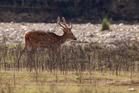 spotted deer male