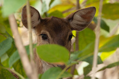 Spotted deer close up