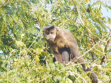 Saúde aguarda resultado sobre causa da morte de macaco encontrado na zona rural