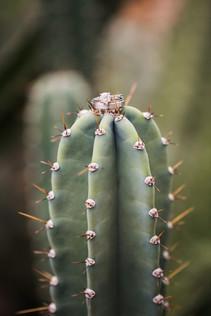 detail shot of a ring on a cactus, arizona weddings, cacti, green, soft, film, wedding day images, jennifer bowen