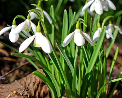 Des perce neiges dans mon jardin, un  signe que le printemps n'est pas loin