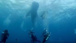 Buceadores españoles rescatan a un tiburón ballena atrapado en un saco de construcción en el oceáno