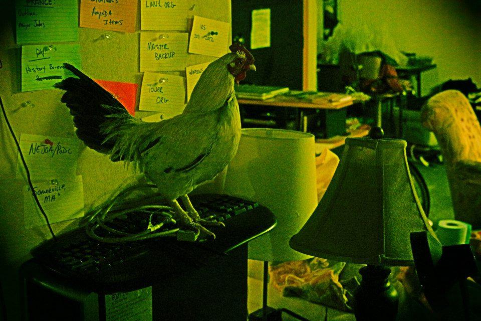 Rooster Inside