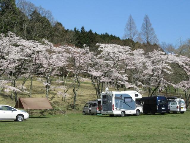 キャンピングカーと桜