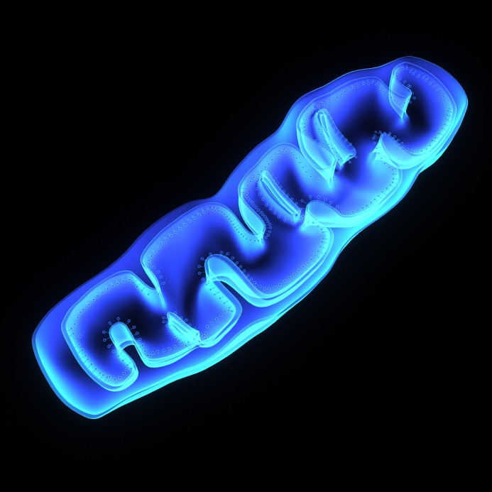 A mitochondrion