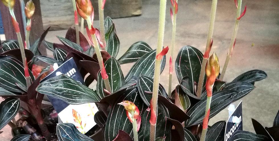 Orchidea Gioiello