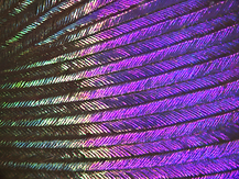 12b_hummingbird feather.tif
