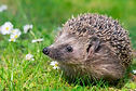 Hedgehog.jpg