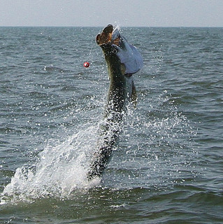 Tarpon Time: Tarpon fishing Charters and Guided trips Myrtle Beach, Garden City, Murrells Inlet, Lit