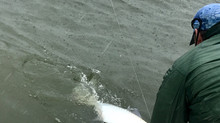 Tarpon Fishing in South Carolina: Litchfield Beach, Murrells Inlet, Pawleys Island, SC