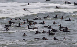 South Carolina Guided Sea Duck Hunts: Myrtle Beach, Murrells Inlet, Pawleys Island and Georgetown, S