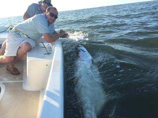 Mullet Run Tarpon Fishing South Carolina