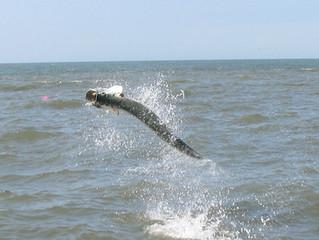 Tarpon Guide and Charter Fishing Report Pawleys Island, Georgetown, Myrtle Beach South Carolina