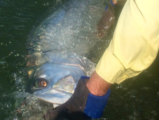 Tarpon Fishing Report: Guide and Charter for Tarpon Myrtle Beach, Litchfield Beach, Murrells Inlet ,