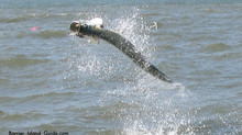 Tarpon fishing Guides report for South Carolina