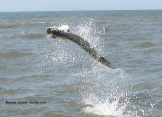 Tarpon fishing Guides report for South Carolina