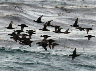 Sea Duck Guided Hunts: Georgetown, Myrtle Beach, Pawleys Island, Litchfield Beach and Murrells Inlet