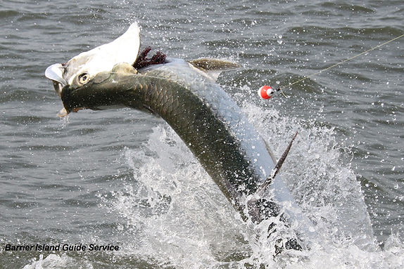 tarpon fishing pawleys island south carolina