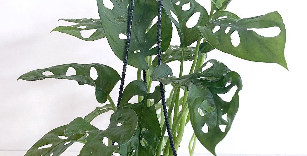 Philodendron - Adansonii Wide Leaf Hanging Basket