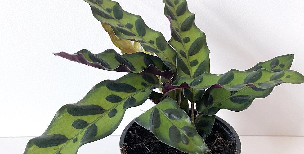 Calathea - Lancifolia