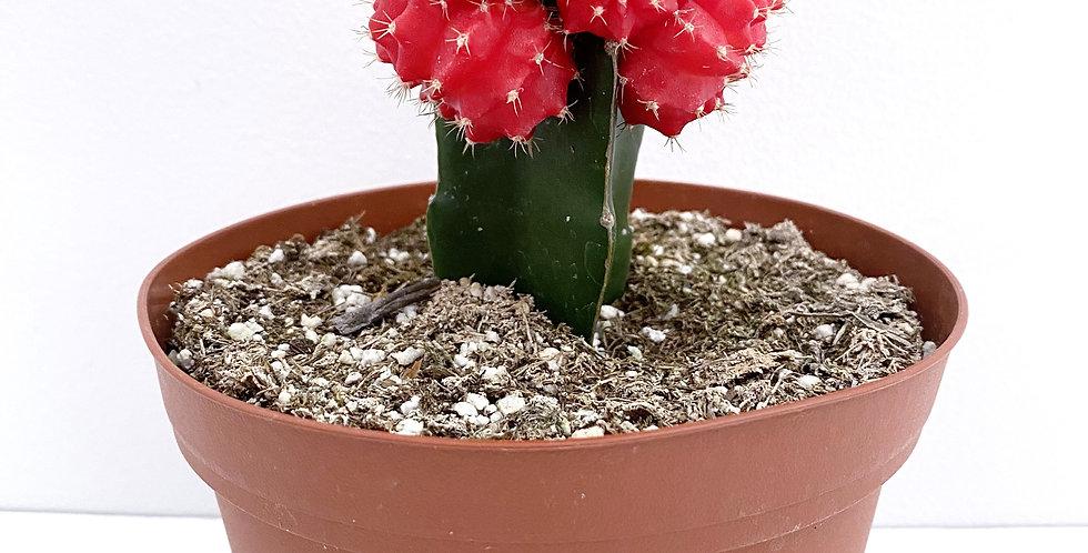 Grafted Gymnos Cactus