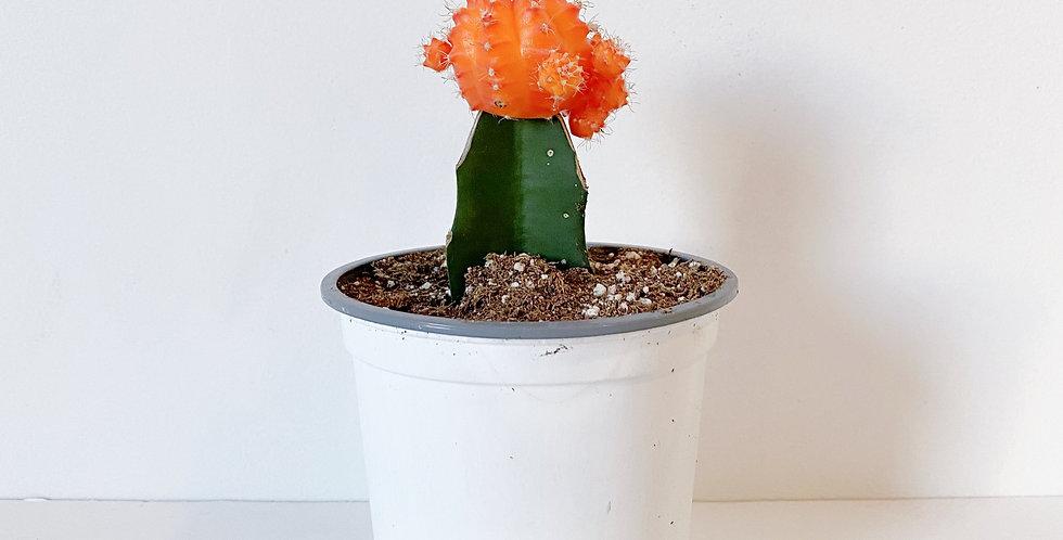 """4"""" Grafted Cactus - Orange Top"""